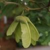 acer-griseum-fruit1