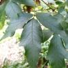 acer-griseum-leaf1