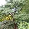 acer-griseum-plant1