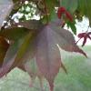 acer-palmatum-atropurpureum-leaf1