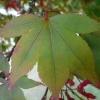 acer-palmatum-atropurpureum-leaf2