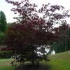acer-palmatum-atropurpureum-plant1