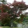 acer-palmatum-atropurpureum-plant2