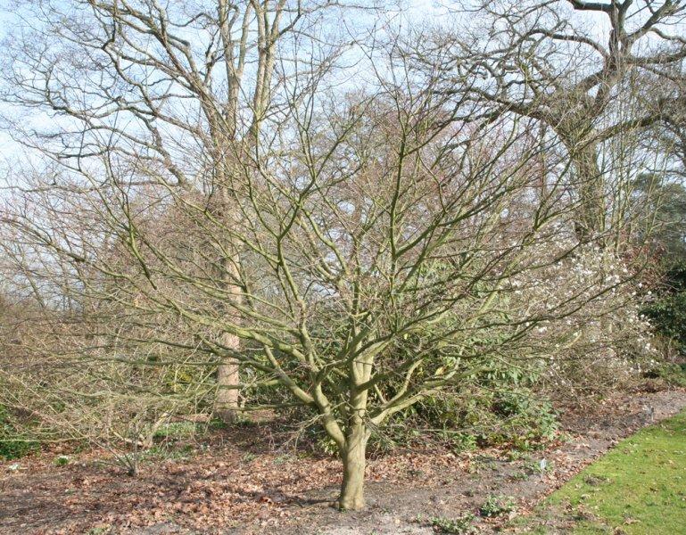 Acer Palmatum Bloodgood Plants Oak Leaf Gardening