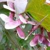 acer-palmatum-bloodgood-fruit1