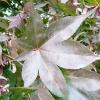 acer-palmatum-bloodgood-leaf1