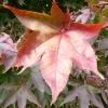 acer-palmatum-bloodgood-leaf2