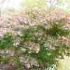 acer-palmatum-bloodgood-plant1