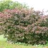 acer-palmatum-bloodgood-plant2