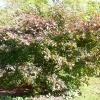acer-palmatum-bloodgood-plant3