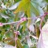 acer-palmatum-bloodgood-stem1
