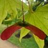 acer-palmatum-osakazuki-fruit1