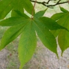 acer-palmatum-osakazuki-leaf1
