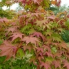 acer-palmatum-osakazuki-leaf2