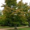 acer-palmatum-osakazuki-plant1