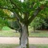acer-palmatum-osakazuki-stem1