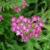 achillea-millefolium-cerise-queen-flower1