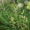 achillea-millefolium-cerise-queen-plant1