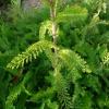 achillea-millefolium-cerise-queen-stem1