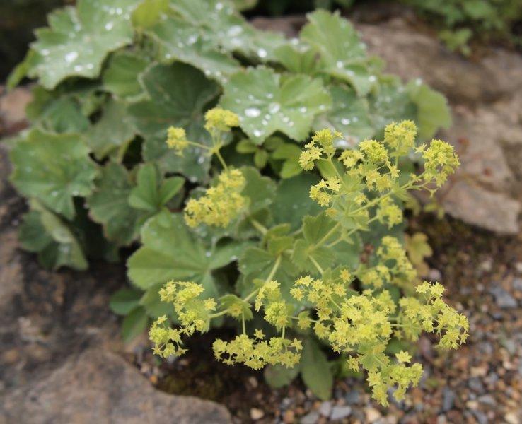 alchemilla mollis plants oak leaf gardening. Black Bedroom Furniture Sets. Home Design Ideas