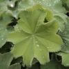 alchemilla-mollis-leaf2