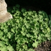 alchemilla-mollis-plant1