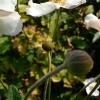anemone-x-hybrida-honorine-jobert-bud1