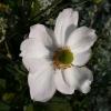 anemone-x-hybrida-honorine-jobert-flower1