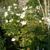 anemone-x-hybrida-honorine-jobert-plant1