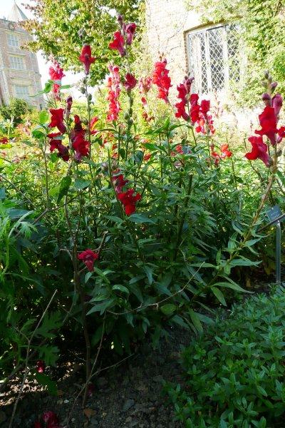 antirrhinum majus  u2018scarlet giant u2019  u2013 plants  u2013 oak leaf gardening