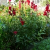 antirrhinum-majus-scarlet-giant-plant1
