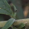ant-eating-buddleja-leaf