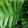 asplenium-scolopendrium-leaf2