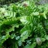 asplenium-scolopendrium-plant1