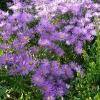 aster-amellus-violet-queen-plant1