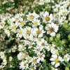 aster-ericoides-f-prostratus-snow-flurry-flower1