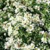 aster-ericoides-f-prostratus-snow-flurry-flower2