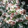 aster-lateriflorus-var-horizontalis-flower1