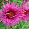 aster-novae-angliae-andenken-an-alma-potschke-flower1