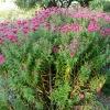 aster-novae-angliae-andenken-an-alma-potschke-plant1