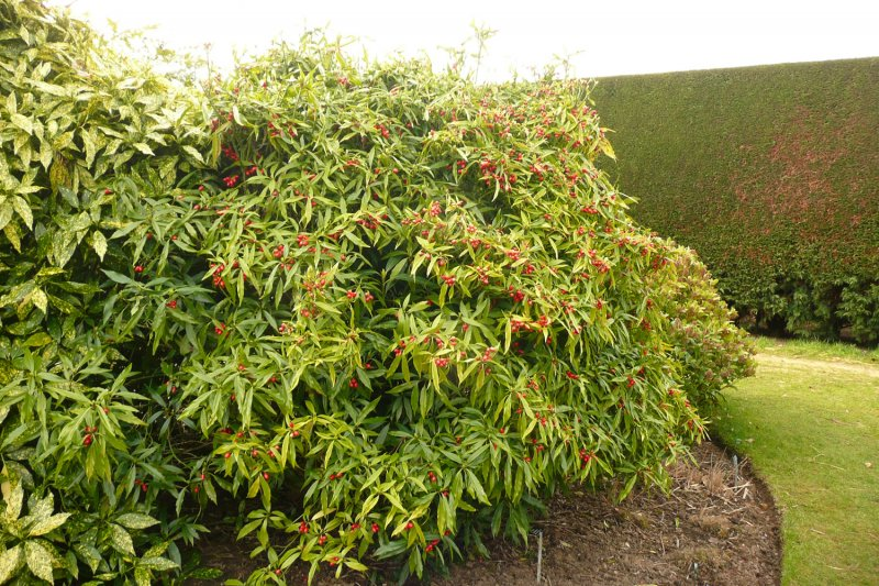 Aucuba Japonica Salicifolia