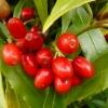 aucuba-japonica-salicifolia-fruit1