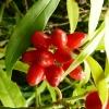 aucuba-japonica-salicifolia-fruit1_0