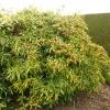 aucuba-japonica-salicifolia-plant1