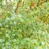 berberis-darwinii-plant1