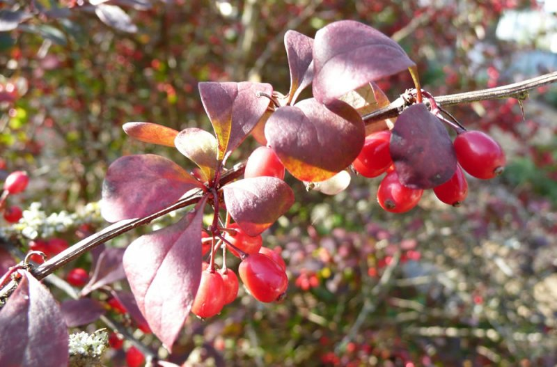 berberis thunbergii f atropurpurea plants oak leaf. Black Bedroom Furniture Sets. Home Design Ideas