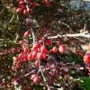 berberis-thunbergii-f-atropurpurea-fruit1