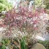 berberis-thunbergii-f-atropurpurea-plant1