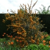 berberis-x-lologensis-apricot-queen-plant1