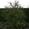 berberis-x-lologensis-apricot-queen-plant1_0